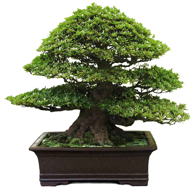 Podocarpus int art