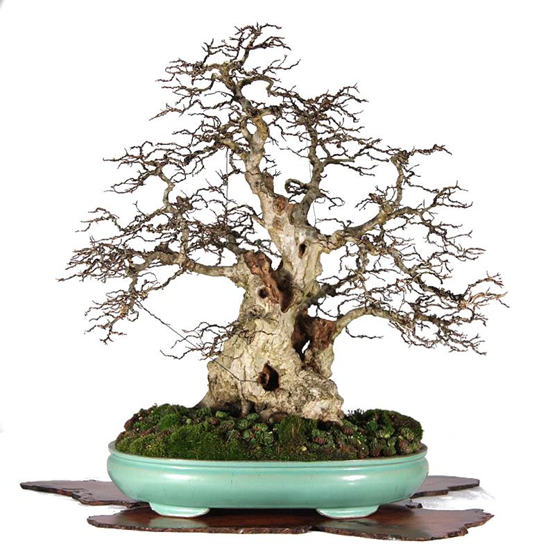 bonsai formare