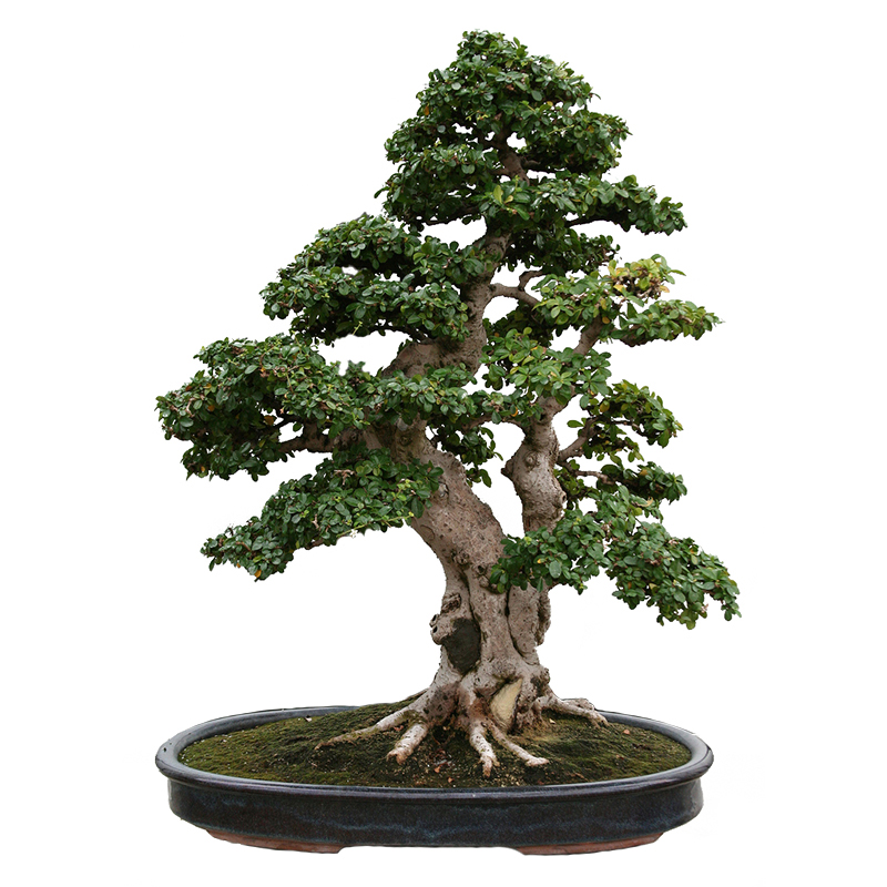 Bonsai pentru interior for Bonsais de interior