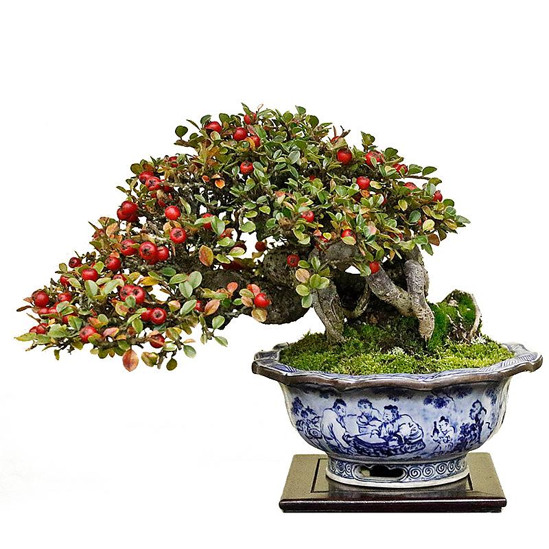 cotoneastera