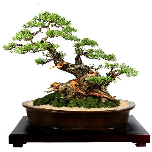 ghiveci oval bonsai