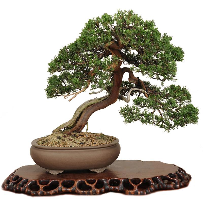 ienupar bonsai art