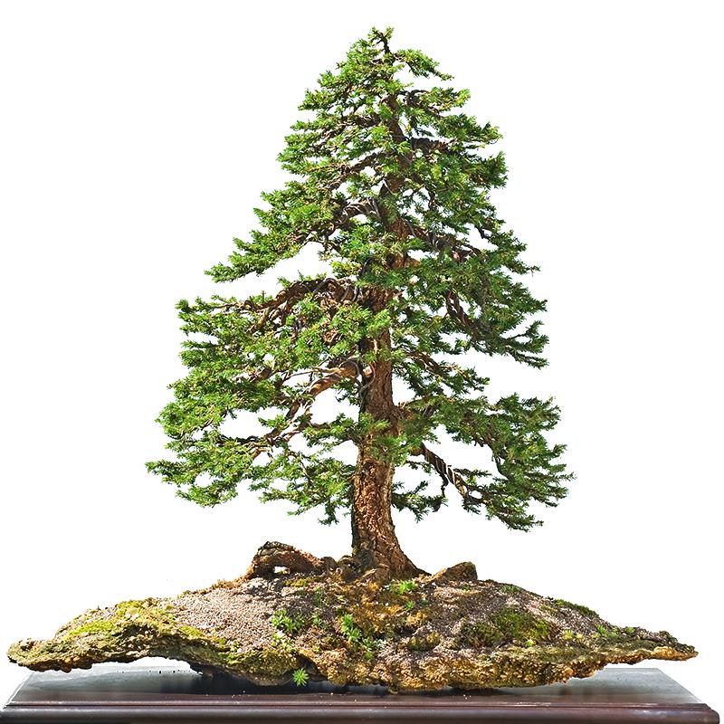 molid bonsai art.