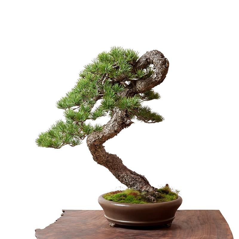 pin bonsai ext art
