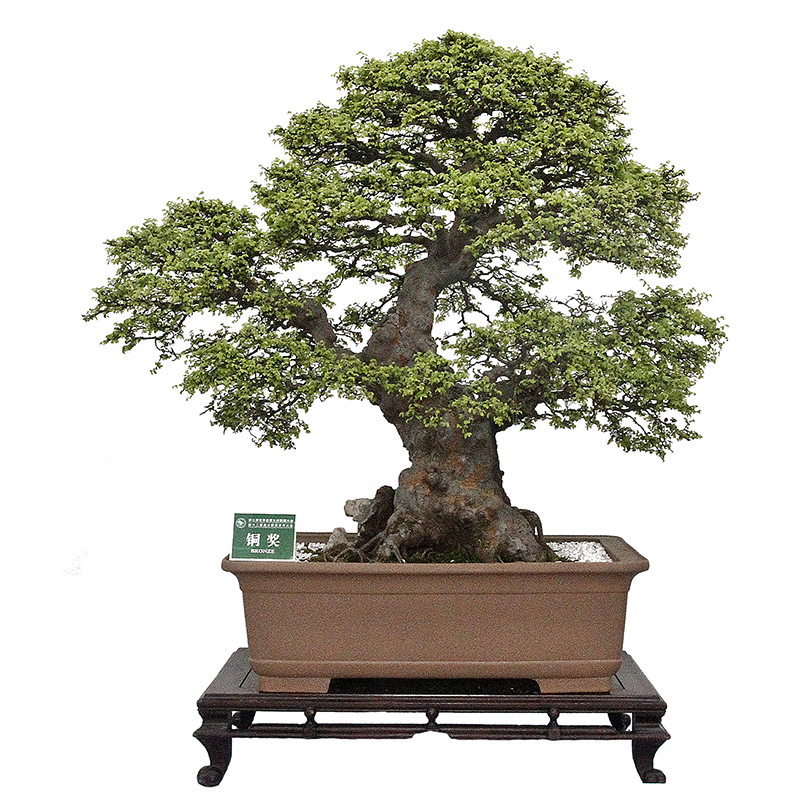 ulm chinezesc bonsai