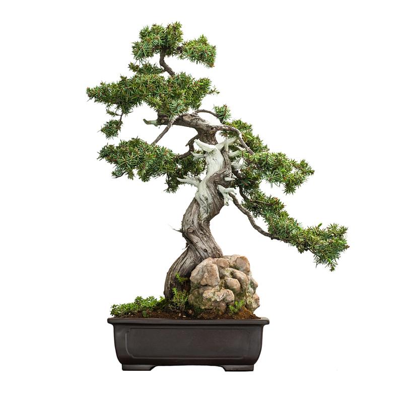 bonsai de exterior