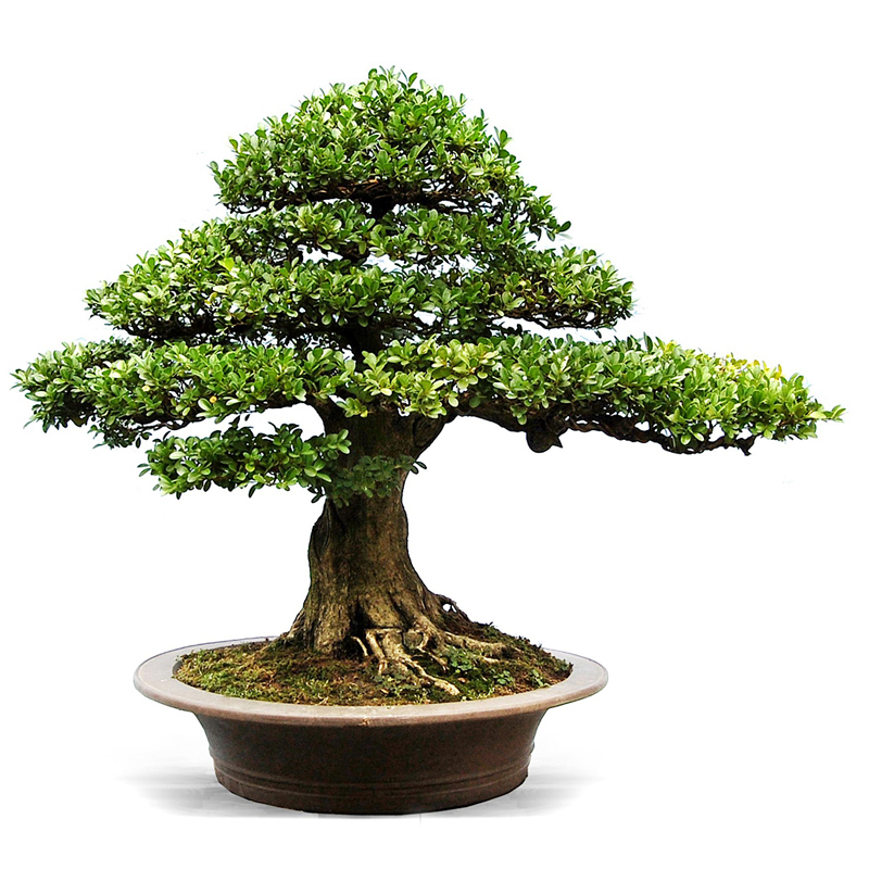 bonsai de interior
